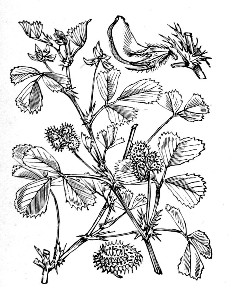 Sketch-of-Toothed-Bur-Clover