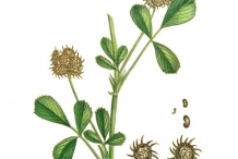 Plant-Illustration-of-Toothed-Bur-Clover