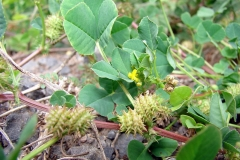 Toothed-Bur-Clover-Fruits-on-the-plant