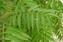 Leaflets-of-Tree-of-heaven-tree
