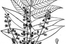 Sketch-of-Tree-of-heaven