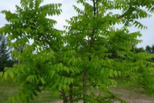 Small-Tree-of-heaven-plant