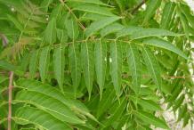 Leaflets-of-Tree-of-heaven-tree