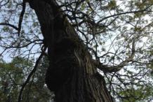 Mature-Tree-of-heaven-tree