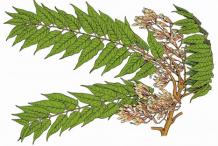Plant-illustration-of-Tree-of-heaven