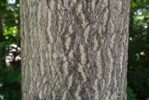 Trunk-of-Tree-of-heaven