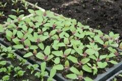 Saplings-of-Tree-Spinach