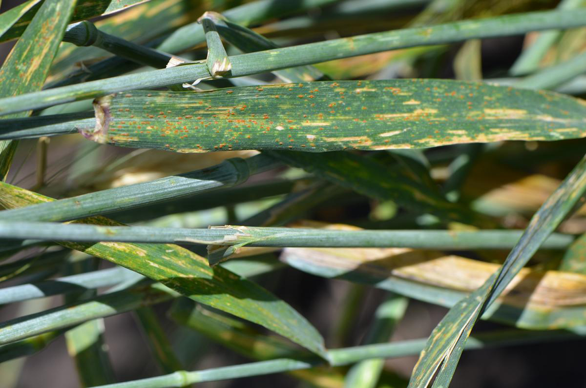 Leaves-of-Triticale