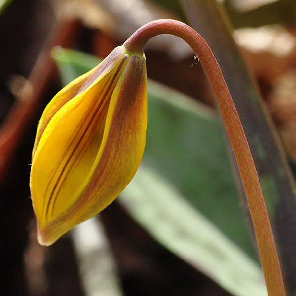 Flowering-bud-of-Trout-lily