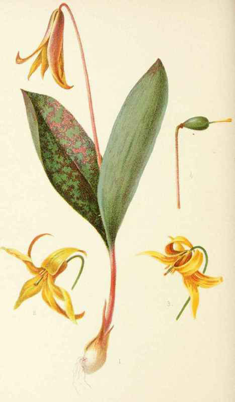 Plant-Illustration-of-Trout-lily