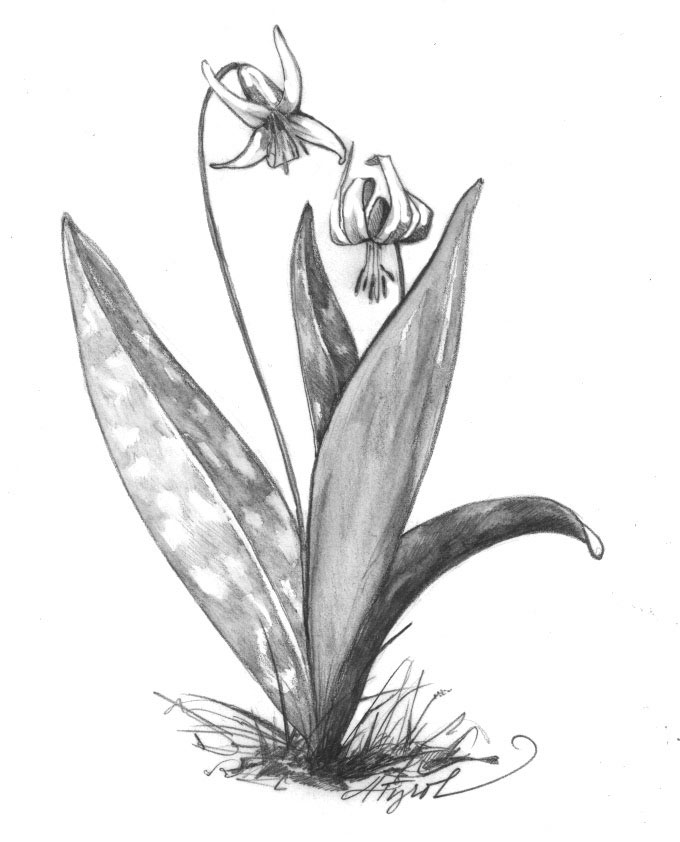 Sketch-of-Trout-lily