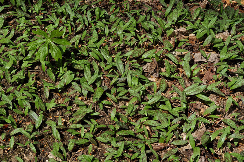 Small-Trout-lily-plants