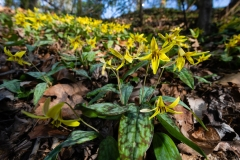 Trout-lily-Plant-growing-wild