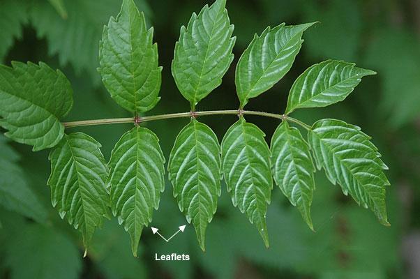 Leaves-of-Trumpet-Vine