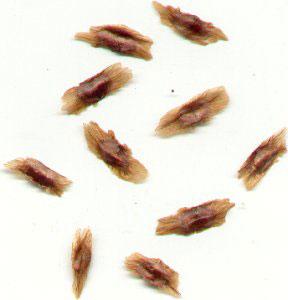 Seeds-of-Trumpet-Vine
