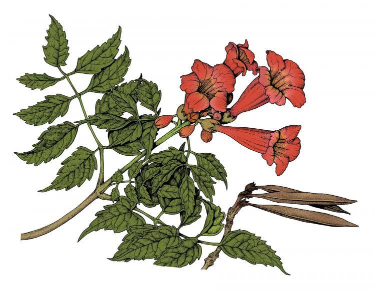 Sketch-of-Trumpet-Vine