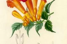 Plant-Illustration-of-Trumpet-Vine