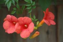 Trumpet-Vine-Flower