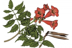 Sketch-of-Trumpet-Vine
