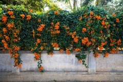 Trumpet-Vine-growing-on-the-wall