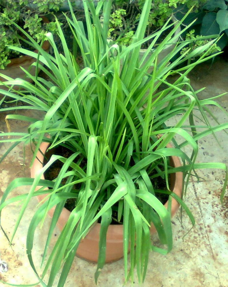 Tuberose-leaves