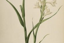 Illustration-of-Tuberose