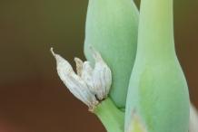 Tuberose-seeds