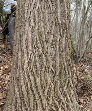 Bark-of-Tulip-Tree