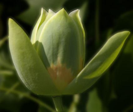 Blooming-flower-of-Tulip-Tree