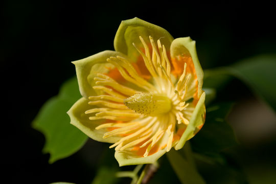 Closer-view-of-flower-of-Tulip-Tree