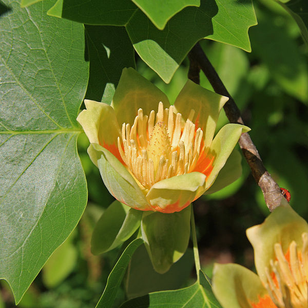 Flower-of-Tulip-Tree