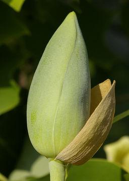 Flowering-buds-of-Tulip-Tree