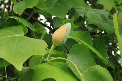 Large-gray-green-flower-bud-with-yellow-bract-of-Tulip-Tree