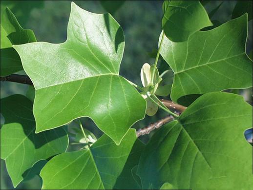 Leaves-of-Tulip-Tree