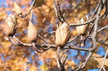 Mature-fruits-of-Tulip-Tree