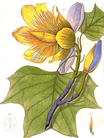 Plant-illustration-of-Tulip-Tree