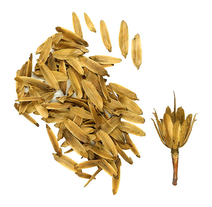 Seeds-of-Tulip-Tree
