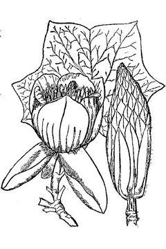 Sketch-of-Tulip-Tree