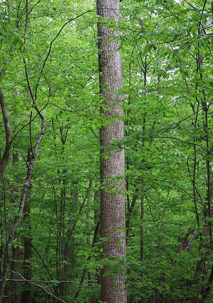 Trunk-of-Tulip-Tree