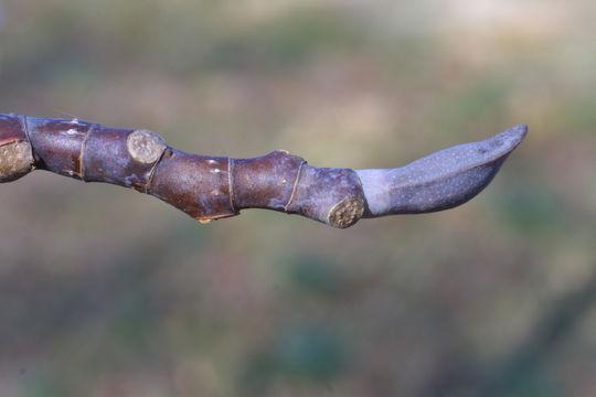 Twigs-of-Tulip-Tree