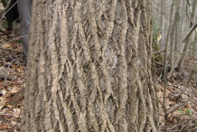 Bark-of-Tulip-Tree