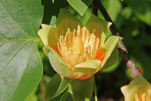 Flower-of-Tulip-Tree
