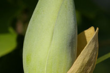 Flowering-buds-of-Tulip-Tree