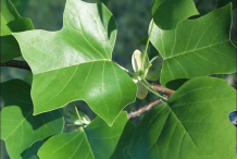 Leaves-of-Tulip-Tree