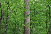 Trunk-of-Tulip-Tree