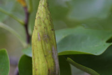 Immature-fruit-of-Tulip-Tree