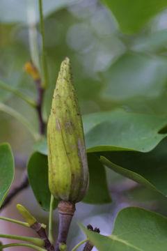 Immature-fruit-of-Tulip-Tree