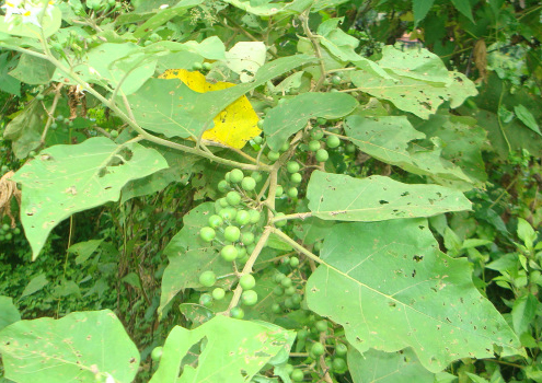 Turkey-berry-leaves