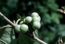 Turkey-berry