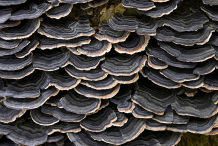 Closer-view-of Turkey-Tail-mushroom-png